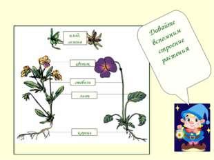 цветок стебель лист корень плод, семена Давайте вспомним строение растения