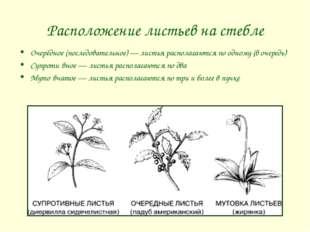 Расположение листьев на стебле Очерёдное (последовательное) — листья располаг
