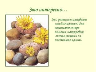Это интересно… Эти растения называют «живые камни». Они защищаются при помощи