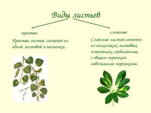 Виды листьев сложные простые Простые листья, состоят из одной листовой пласти