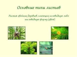 Основные типы листьев Листья хвойных деревьев, имеющих игловидную либо шилови