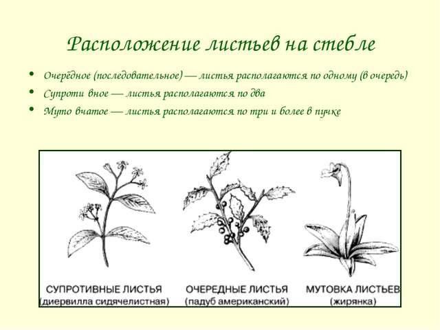 Расположение листьев на стебле Очерёдное (последовательное) — листья располаг...