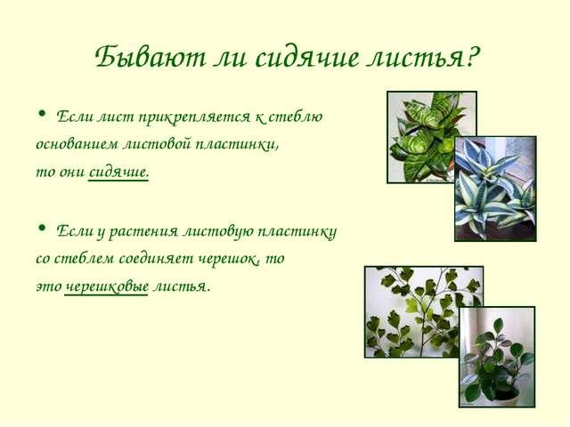 Бывают ли сидячие листья? Если лист прикрепляется к стеблю основанием листово...