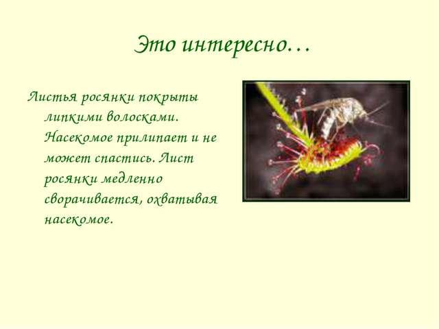 Это интересно… Листья росянки покрыты липкими волосками. Насекомое прилипает...