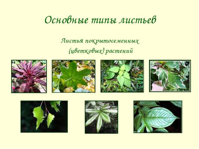 Основные типы листьев Листья покрытосеменных (цветковых) растений