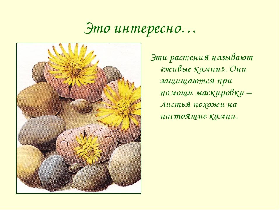 Это интересно… Эти растения называют «живые камни». Они защищаются при помощи...