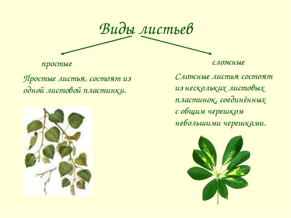 Виды листьев сложные простые Простые листья, состоят из одной листовой пласти...