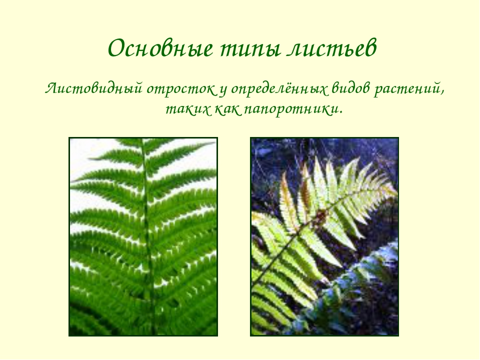 Основные типы листьев Листовидный отросток у определённых видов растений, так...