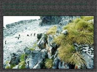 На материковой части Антарктиды выживают только мхи, лишайники(их около 300 в