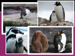 Особенно интересны живущие лишь в двух местах Антарктиды императорские пингв
