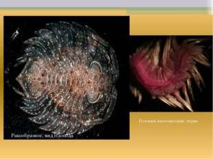 Ракообразное, вид Изопода Розовый многощетинк. червь