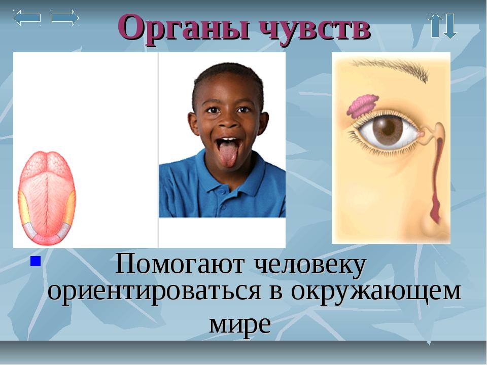 Органы чувств Помогают человеку ориентироваться в окружающем мире