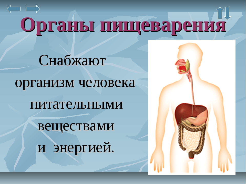 Органы пищеварения Снабжают организм человека питательными веществами и энерг...