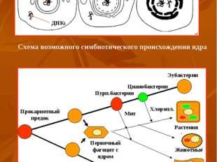 Схема возможного симбиотического происхождения ядра Схема эволюции клеток (по