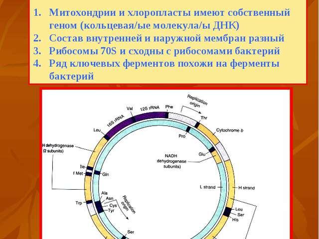 Геном митохондрии Впервые о симбиотическом происхождении митохондрий и хлороп...
