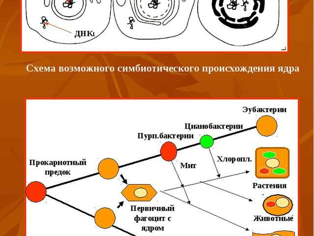 Схема возможного симбиотического происхождения ядра Схема эволюции клеток (по...