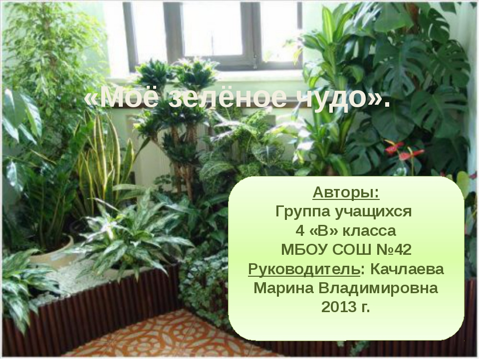 «Моё зелёное чудо». Авторы: Группа учащихся 4 «В» класса МБОУ СОШ №42 Руковод...