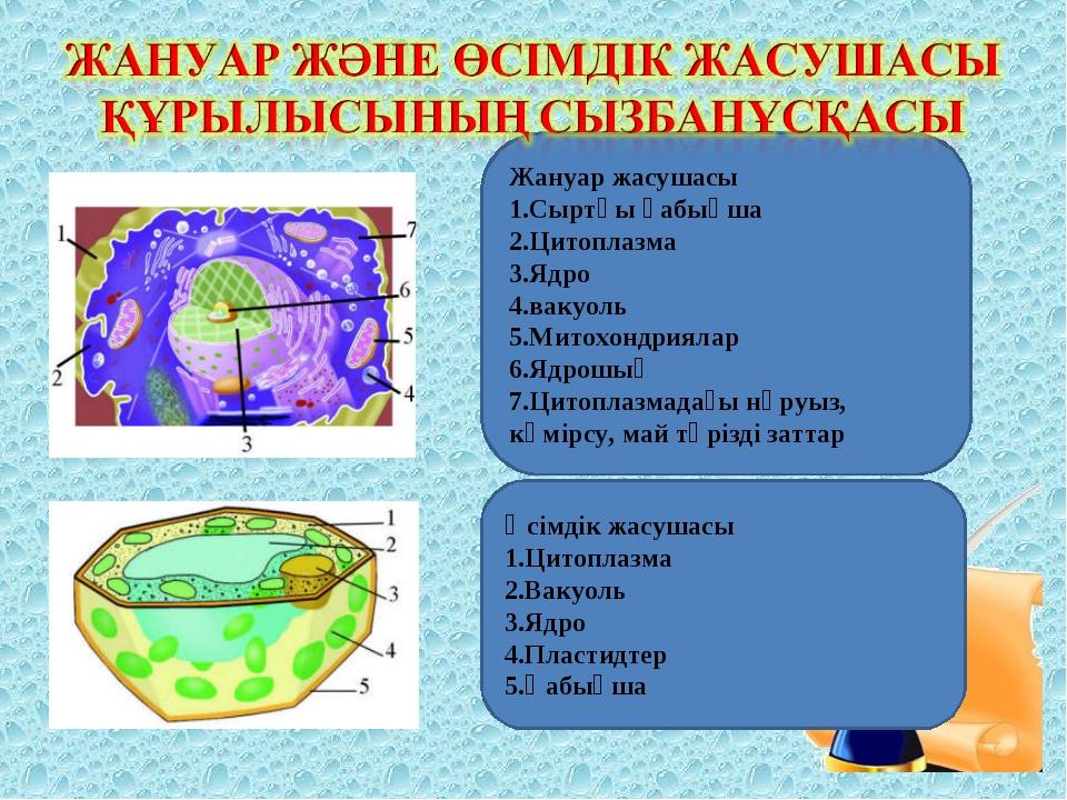 Жануар жасушасы 1.Сыртқы қабықша 2.Цитоплазма 3.Ядро 4.вакуоль 5.Митохондриял...