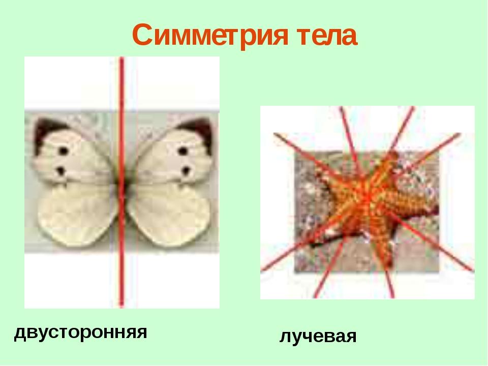 Симметрия тела двусторонняя лучевая