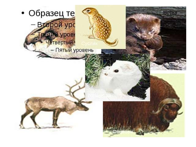 Лемминг Северный олень Суслик Норка Овцебык Горностай