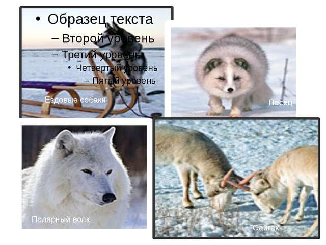 Ездовые собаки Песец Полярный волк Сайгак