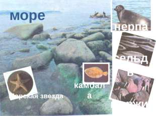 море нерпа сельдь камбала моржи Морская звезда