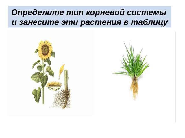 Определите тип корневой системы и занесите эти растения в таблицу