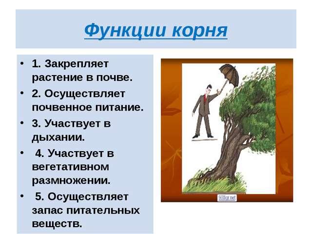 Функции корня 1. Закрепляет растение в почве. 2. Осуществляет почвенное питан...