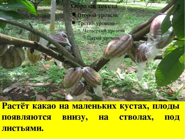 Растёт какао на маленьких кустах, плоды появляются внизу, на стволах, под лис...