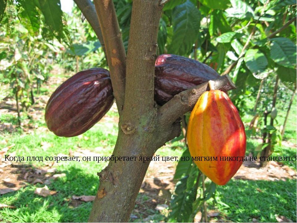 Чумаченко Т.Н. Когда плод созревает, он приобретает яркий цвет, но мягким ник...