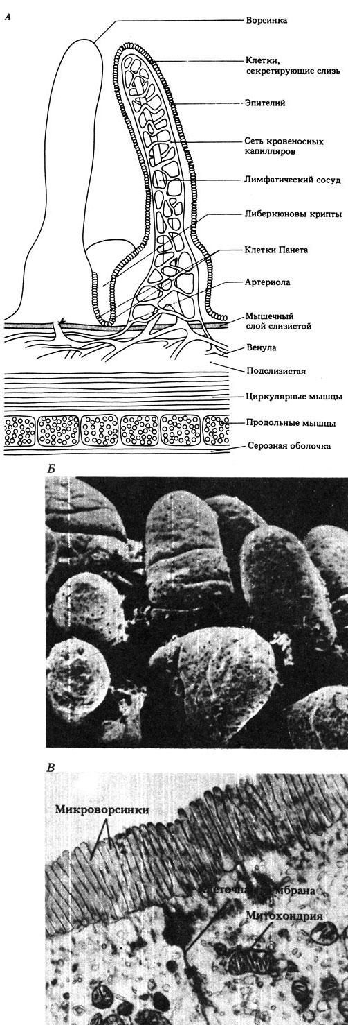 Рис. 10.31. А. Поперечный разрез стенки тонкого кишечника человека, на котором видна ворсинка. Б. Микрофотография ворсинки тонкого кишечника, полученная с помощью сканирующего электронного микроскопа. В. Электронная микрофотография слизистой клетки, на которой видны микроворсинки