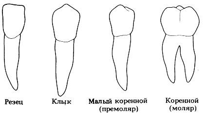 Рис. 10.20. Четыре типа зубов у человека