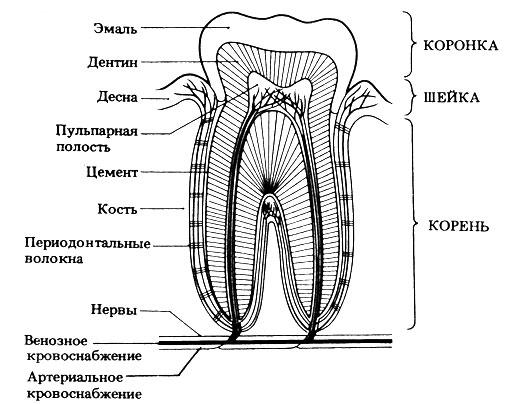 Рис. 10.21. Вертикальный шлиф малого коренного зуба