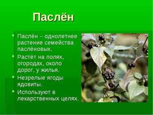 Паслён Паслён – однолетнее растение семейства паслёновых. Растёт на полях, о