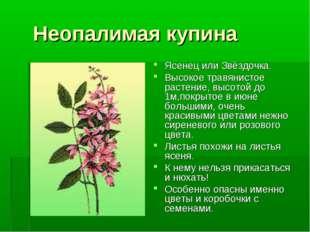 Неопалимая купина Ясенец или Звёздочка. Высокое травянистое растение, высото