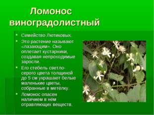Ломонос виноградолистный Семейство Лютиковых. Это растение называют «лазающи