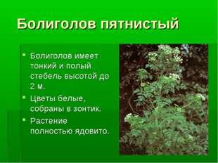 Болиголов пятнистый Болиголов имеет тонкий и полый стебель высотой до 2 м. Ц