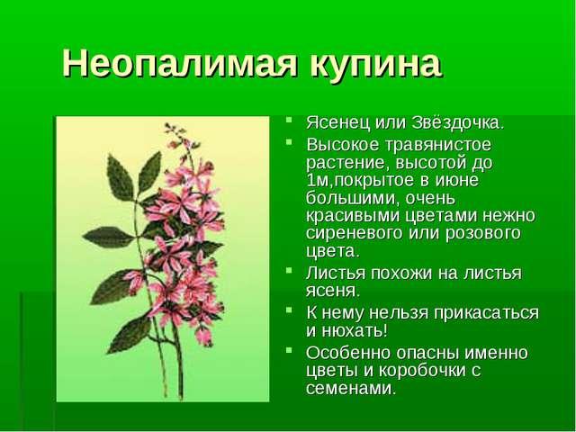 Неопалимая купина Ясенец или Звёздочка. Высокое травянистое растение, высото...