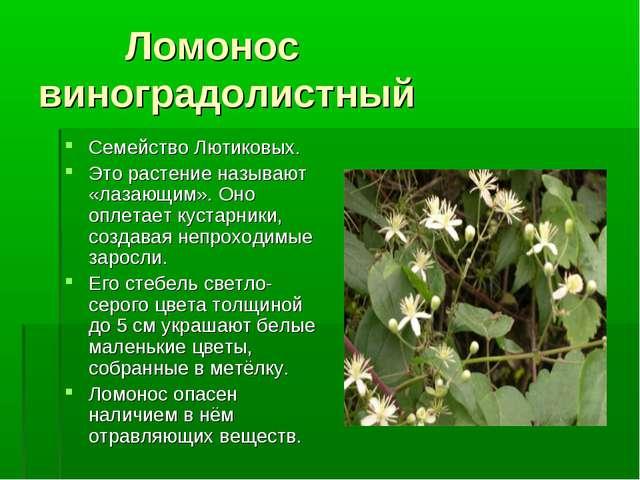 Ломонос виноградолистный Семейство Лютиковых. Это растение называют «лазающи...