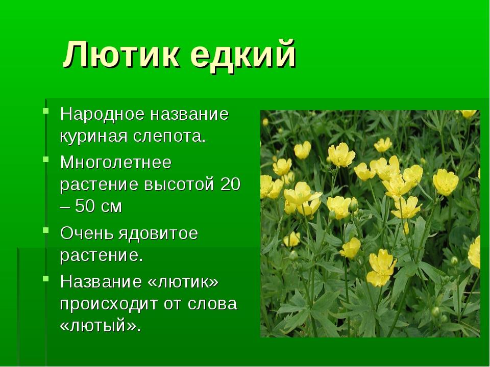 Лютик едкий Народное название куриная слепота. Многолетнее растение высотой...