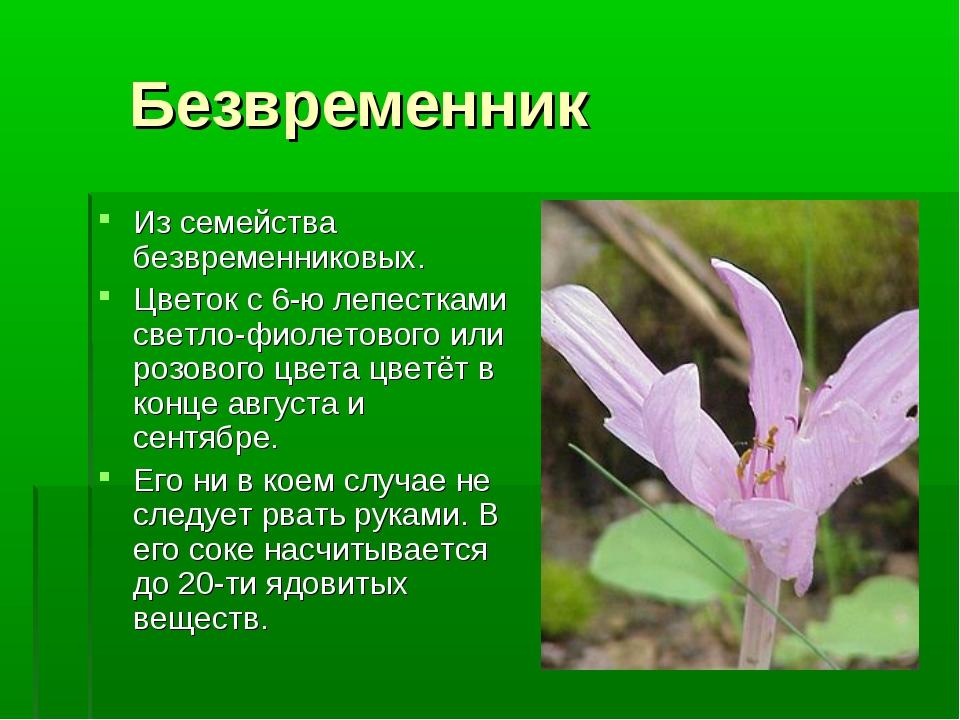 Безвременник Из семейства безвременниковых. Цветок с 6-ю лепестками светло-ф...