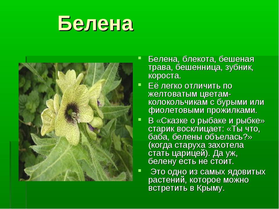 Как выглядит цветок белена