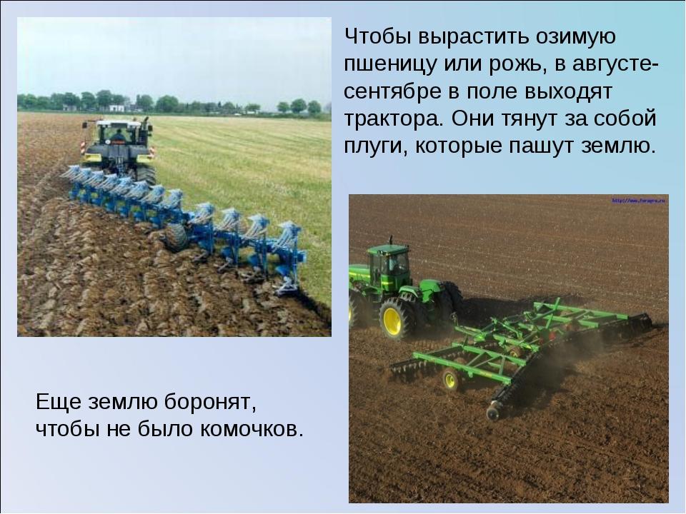 Чтобы вырастить озимую пшеницу или рожь, в августе-сентябре в поле выходят тр...