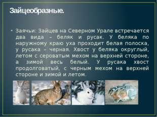 Зайцеобразные. Заячьи: Зайцев на Северном Урале встречается два вида – беляк