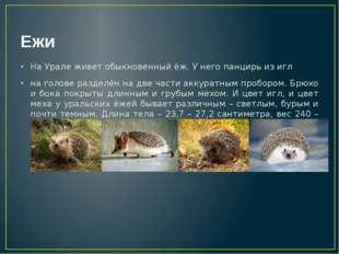 Ежи На Урале живет обыкновенный ёж. У него панцирь из игл на голове разделён