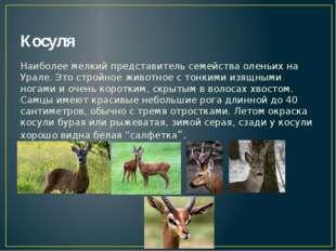 Косуля Наиболее мелкий представитель семейства оленьих на Урале. Это стройное