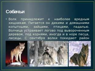 Собачьи Волк принадлежит к наиболее вредным хищникам. Питается он дикими и до