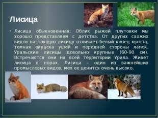 Лисица Лисица обыкновенная: Облик рыжей плутовки мы хорошо представляем с дет