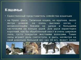 Кошачьи Единственный представитель семейства кошачьих на Урале –рысь. Типична