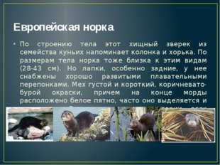 Европейская норка По строению тела этот хищный зверек из семейства куньих нап